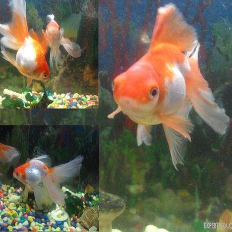 Як розмножуються золоті рибки