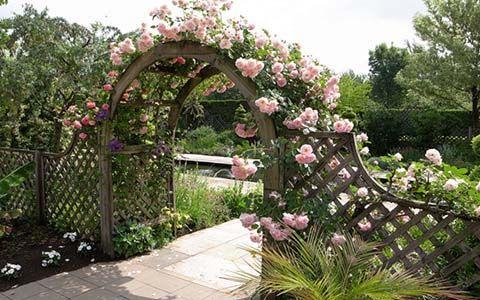 Секрети вирощування в`юнких троянд